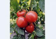 【うつのみや】猛暑の中育った「トマト」を出荷~トマト専門部出荷目揃え会~