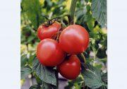 【うつのみや】19年産トマトの販売方針を協議